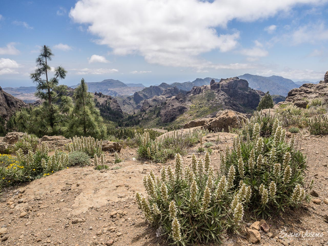 The mountain flora of Gran Canaria close by natural rocky formation of Roque Nublo. Gran Canaria, Spain.