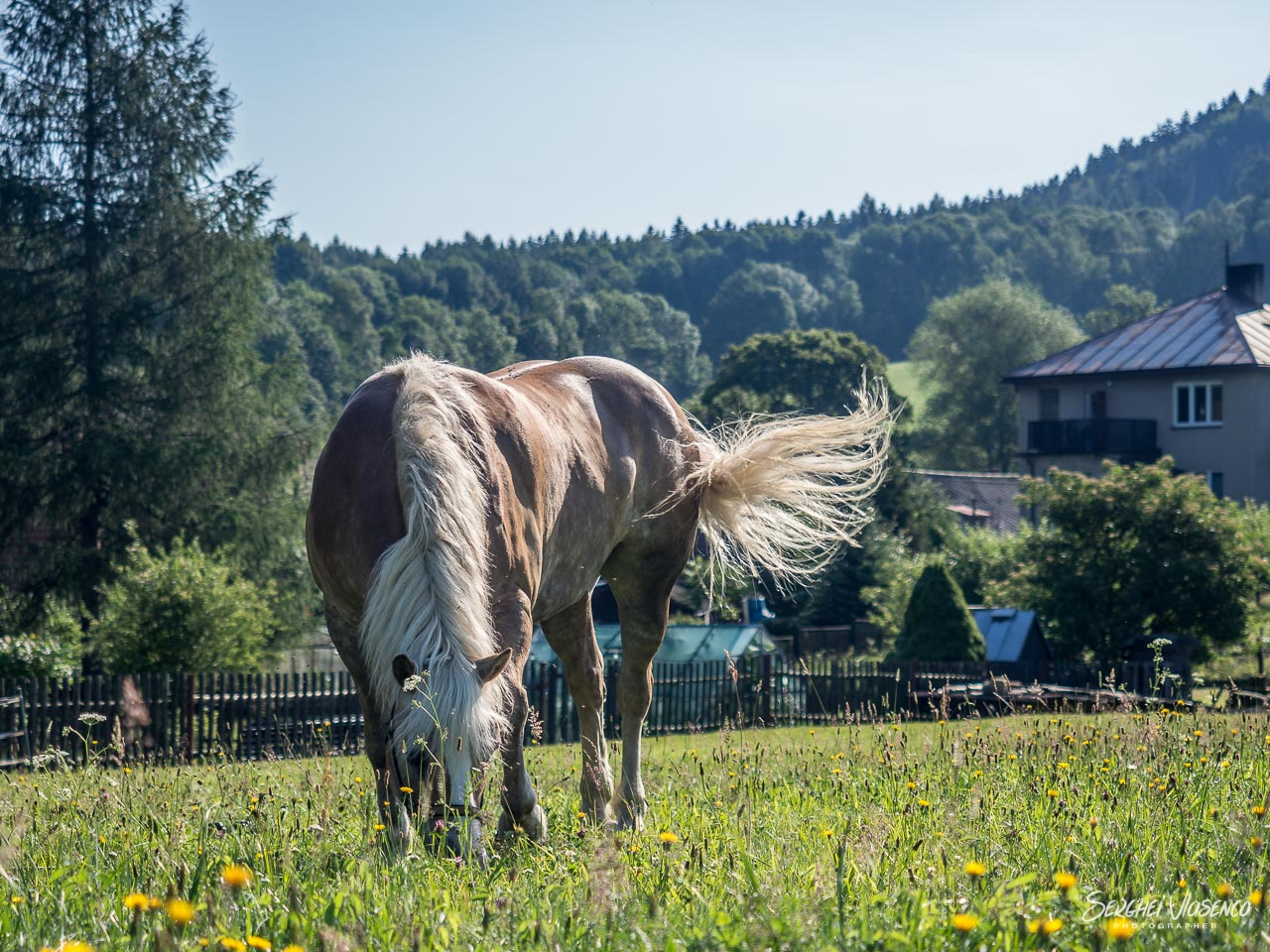 A grazing horse on a meadow captured during the trip to the Czech mountains.