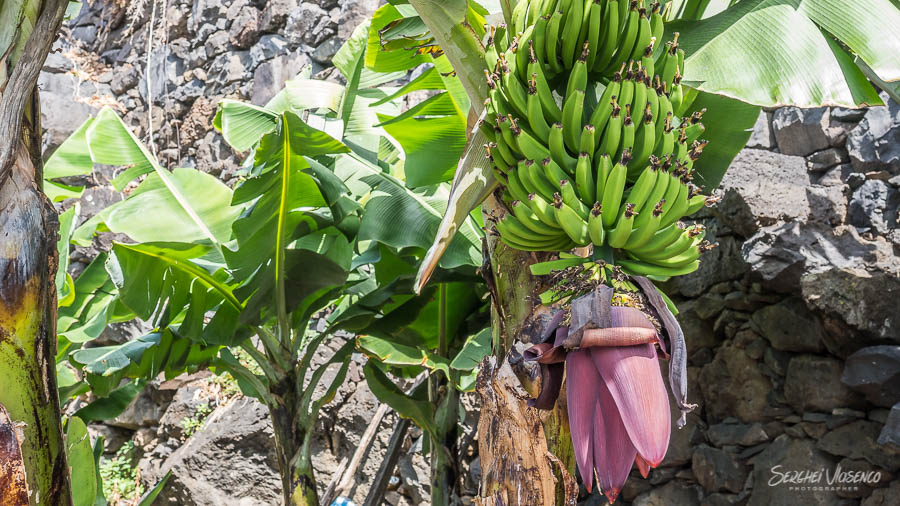 The plant with bananas
